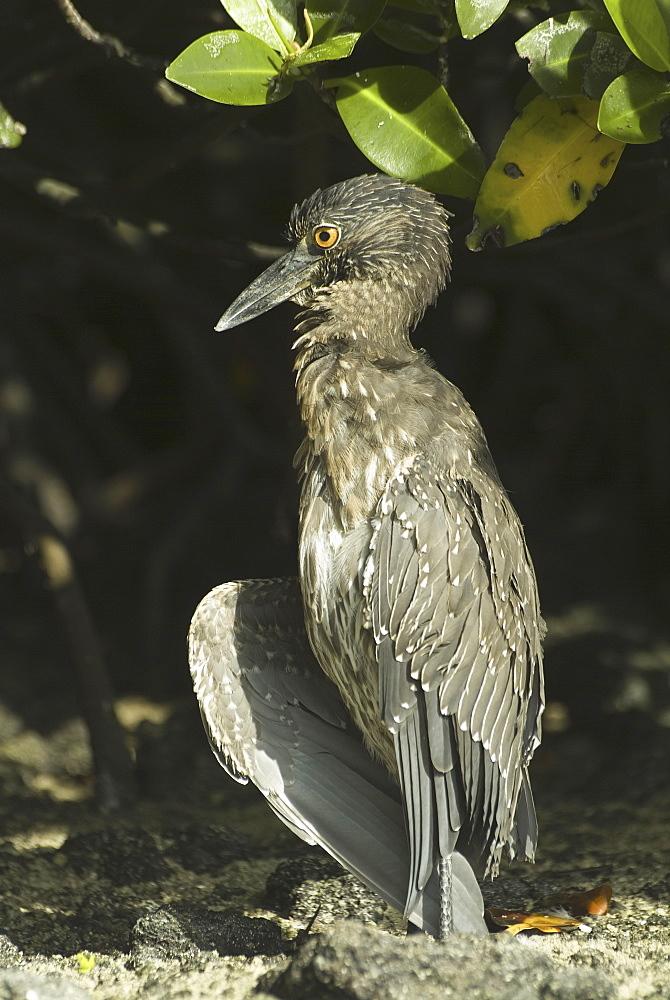Galapagos heron. Galapagos.
