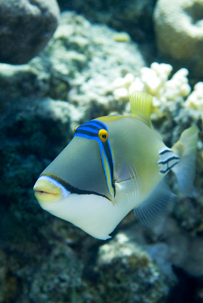 Picasso Triggerfish (Rhinecanthus assasi). Red Sea. - 978-96