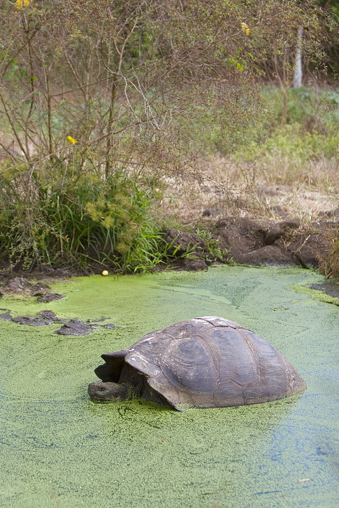 Wild Galapagos giant tortoise (Geochelone elephantopus) on the upslope grasslands of Cruz Island in the Galapagos Island Group, Ecuador