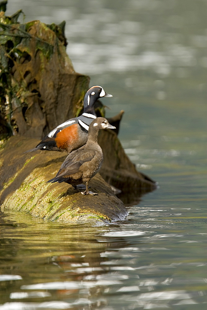 Breeding adult male and female harlequin ducks (Histrionicus histrionicus) in Red Bluff Bay on Baranof Island, Southeast Alaska