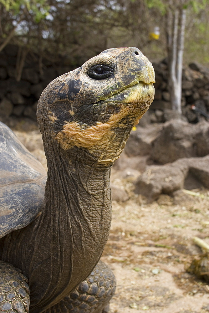 Captive Galapagos giant tortoise (Geochelone elephantopus) being fed at the Charles Darwin Research Station on Santa Cruz Island in the Galapagos Island Group, Ecuador