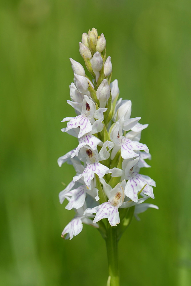 Common spotted orchid (Dactylorhiza fuchsii), pale form, flowering in a traditional hay meadow, Wiltshire, England, United Kingdom, Europe - 989-324