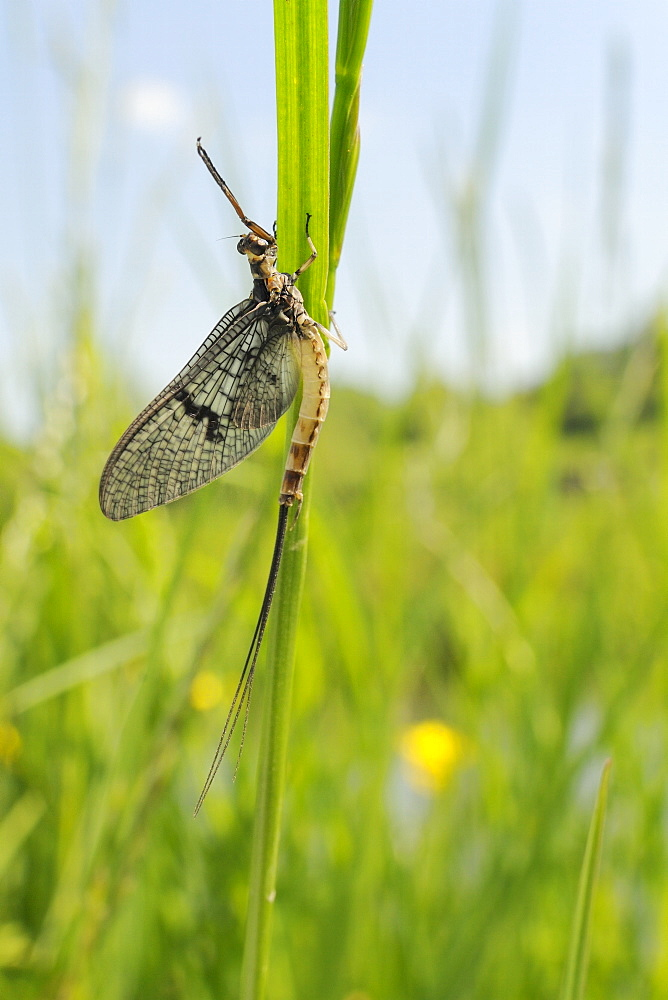 Green drake mayfly (Ephemera danica) newly emerged on a riverside grass stem, Wiltshire, England, United Kingdom, Europe - 989-357