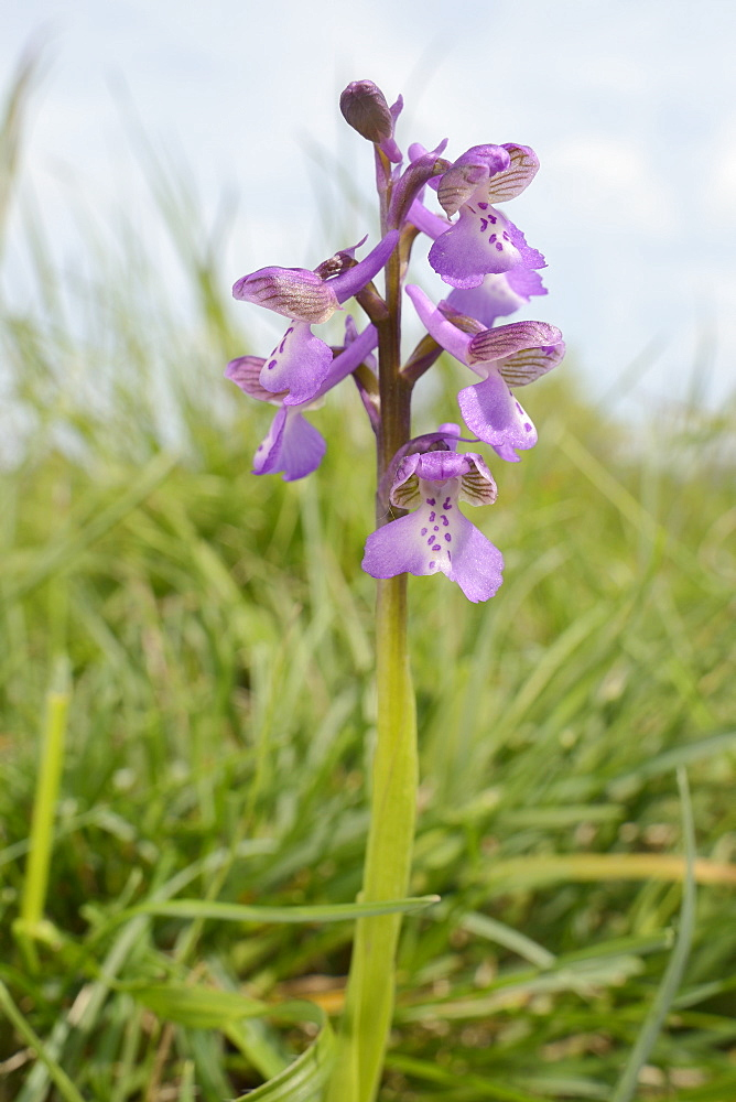 Green-winged orchid (Orchis) (Anacamptis morio) flowering in a traditional hay meadow, Clattinger Farm, Wiltshire, England, United Kingdom, Europe