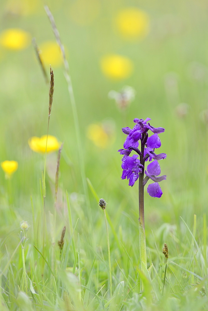 Green-winged orchid (Orchis) (Anacamptis morio) flowering in a hay meadow alongside meadow buttercups (Ranunculus acris), Wiltshire, England, United Kingdom, Europe - 989-388