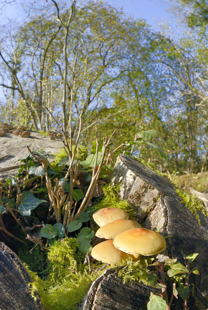 Sulphur tuft fungi (Hypholoma fasciculare) growing on a rotten mossy log in deciduous woodland, Gloucestershire Wildlife Trust Lower Woods nature reserve, Gloucestershire, England, United Kingdom, Europe