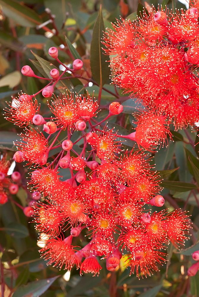 Red flowering gum (Eucalyptus ficifolia), Cultivated, Northern Tasmania, Australia - 994-23