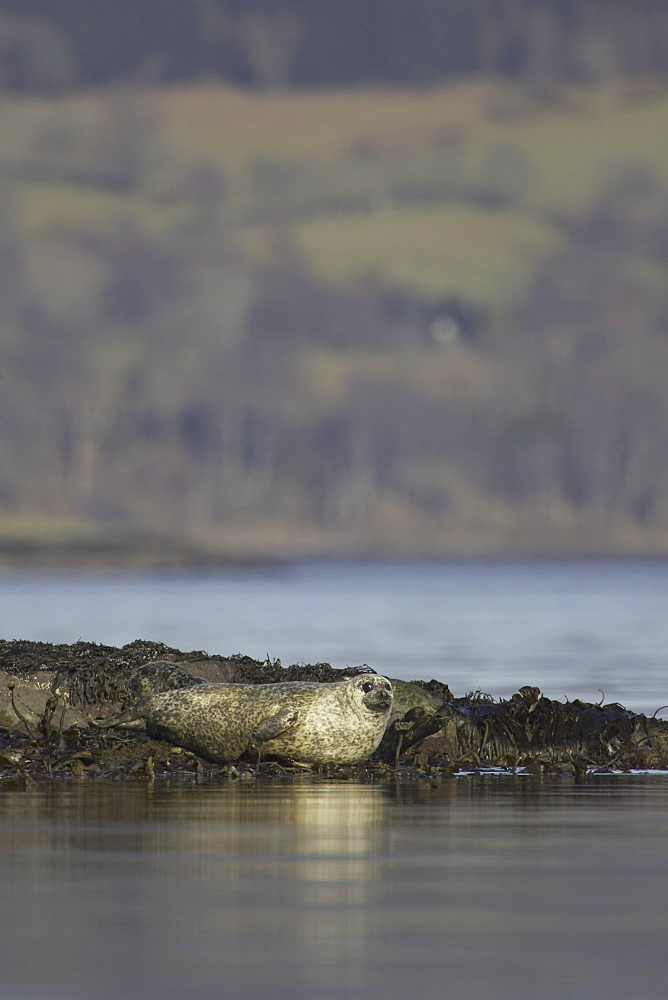 Common Seal (Phoca vitulina) resting on rocks. Argyll, Scotland, UK