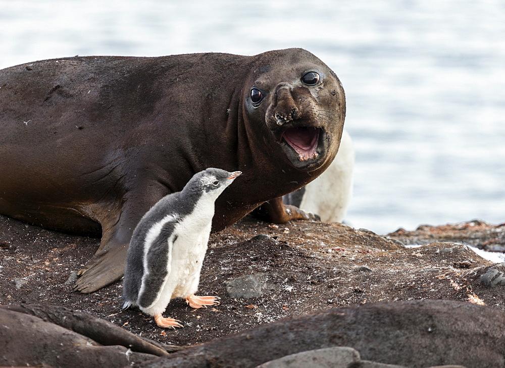 Symbiosis between seal elephant and penguin, Antarctica