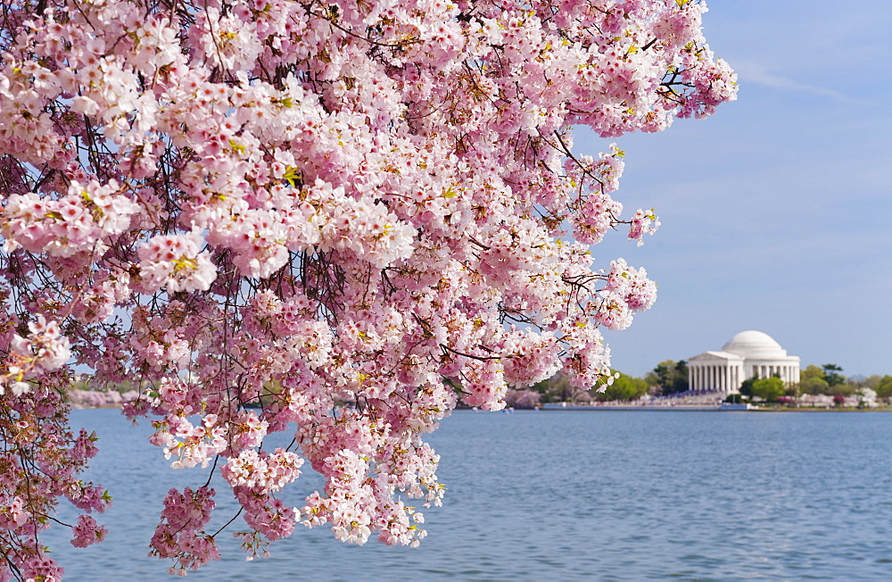 Cherry tree in blossom with Jefferson Memorial in background - 1178-13394
