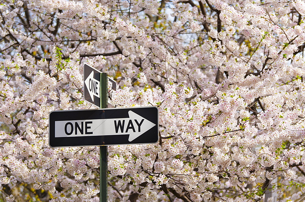 One way sign among cherry trees in blossom