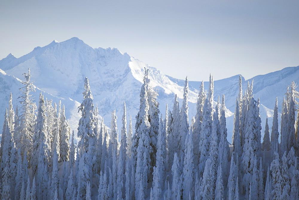 Trees covered with fresh snow, USA, Montana, Glacier National Park