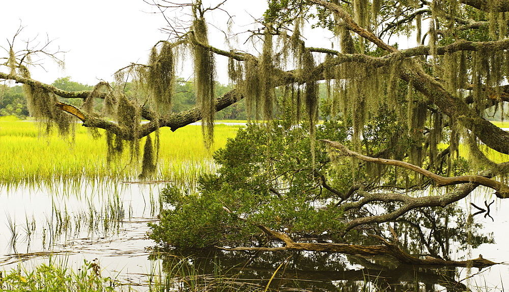 USA, South Carolina, Charleston, Oak trees with spanish moss over river