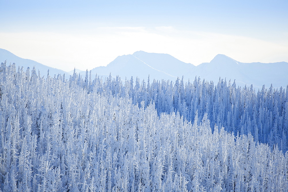 Tree tops covered with fresh snow, USA, Montana, Whitefish
