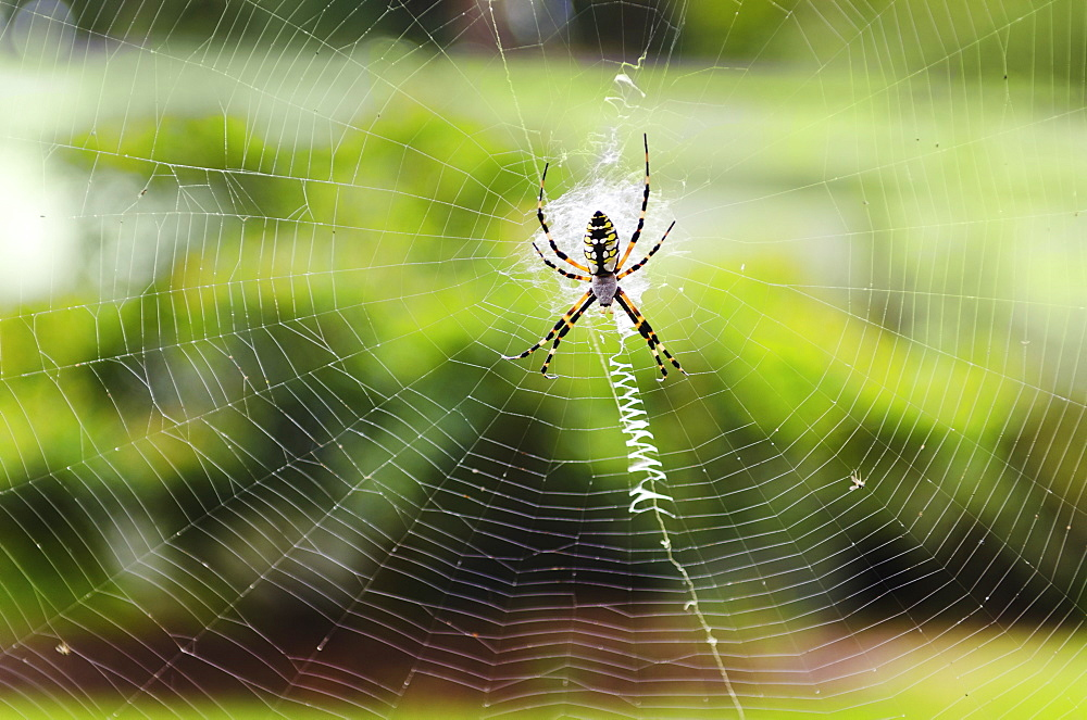 Close up of Argiope Spider on spider web