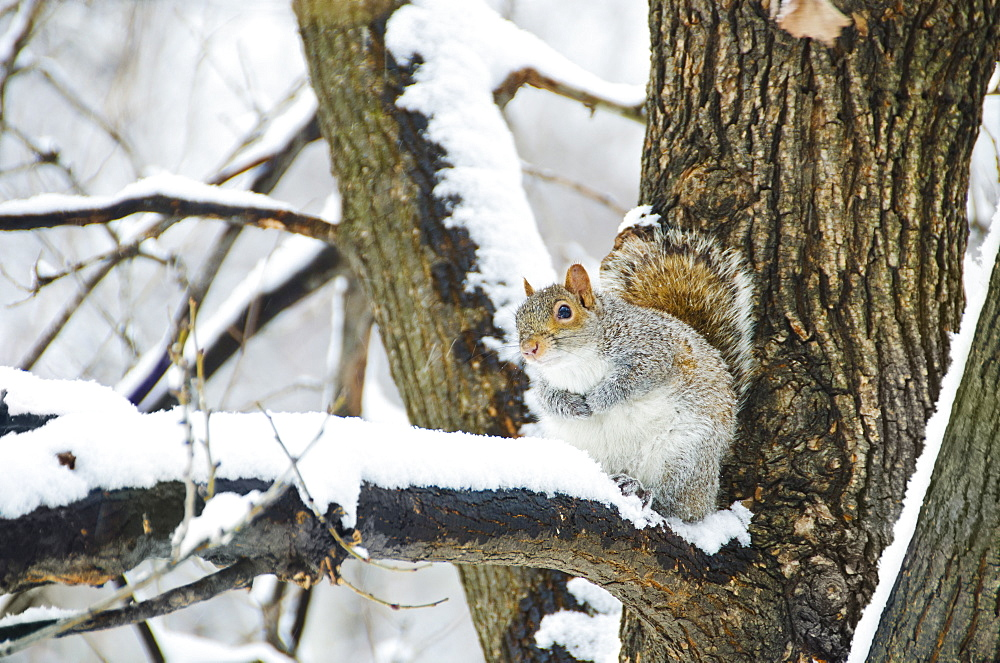 USA, New York, New York City, squirrel sitting on branch in winter