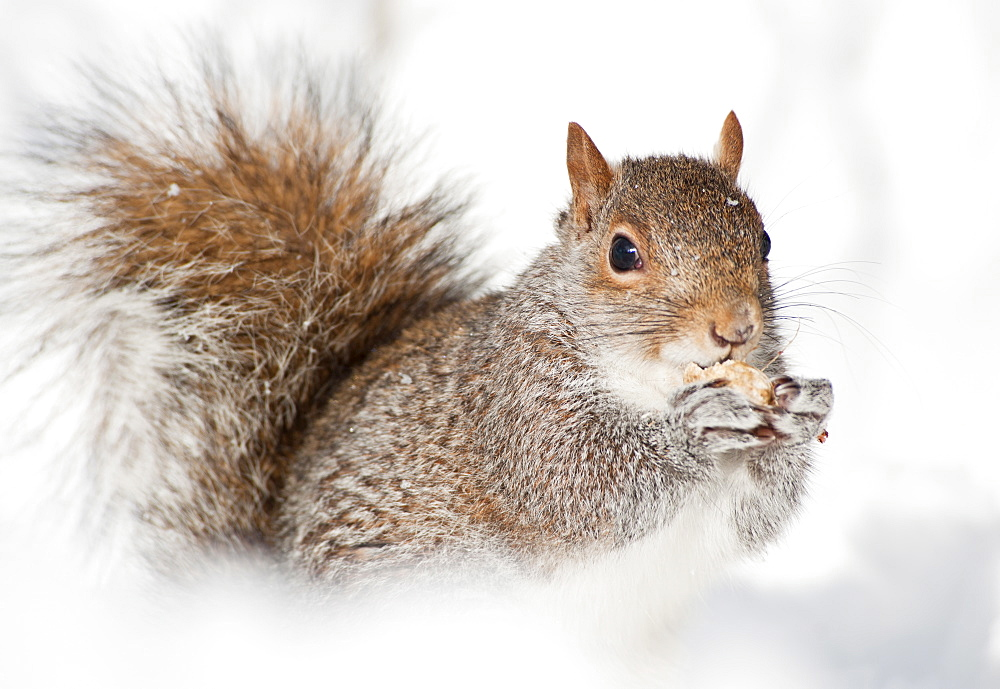 USA, New York, New York City, close up of squirrel sitting in snow - 1178-13999