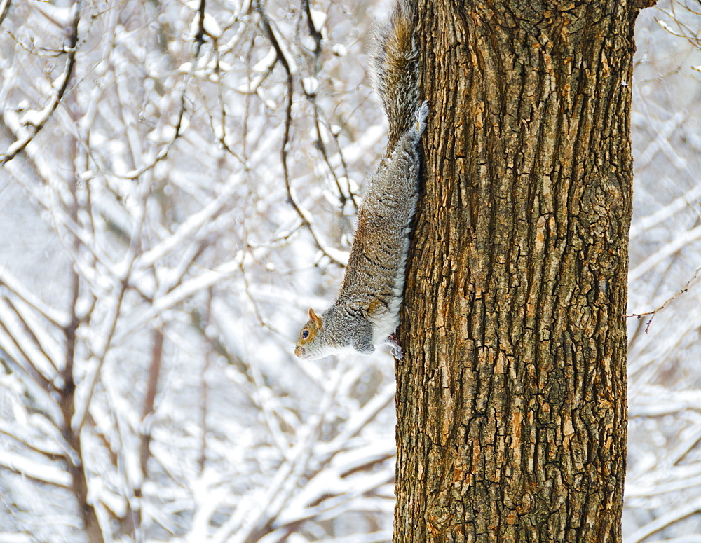 USA, New York, New York City, squirrel walking down tree trunk