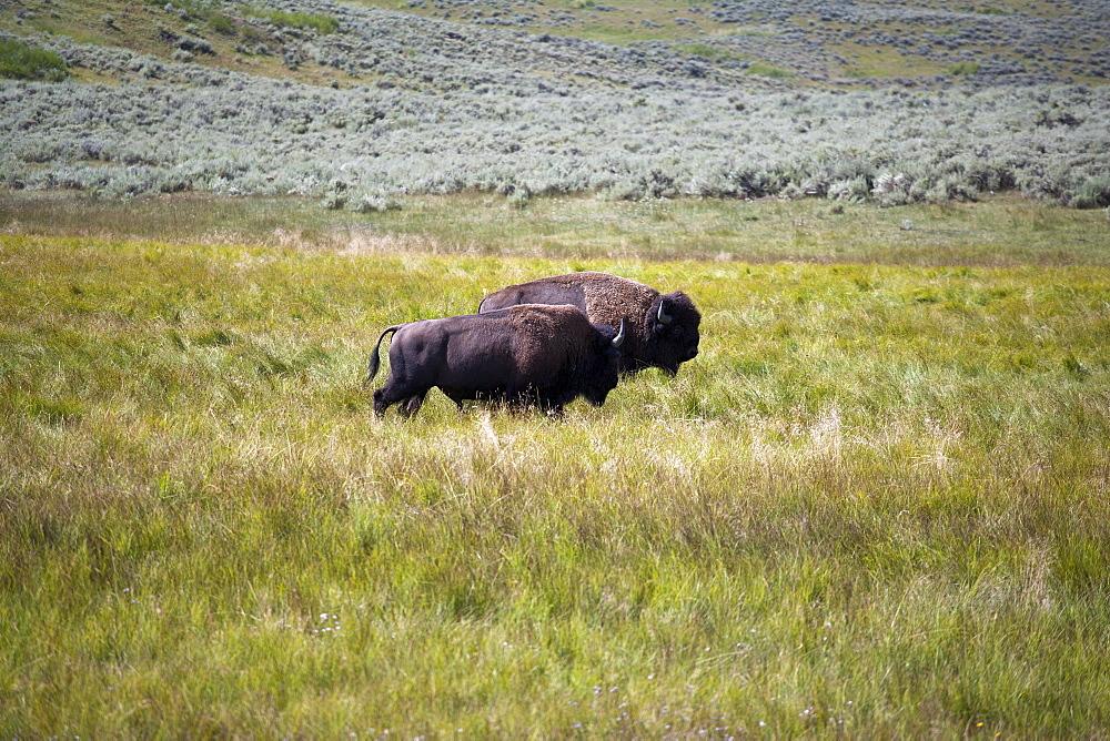 Two buffalo grazing, USA, Wyoming