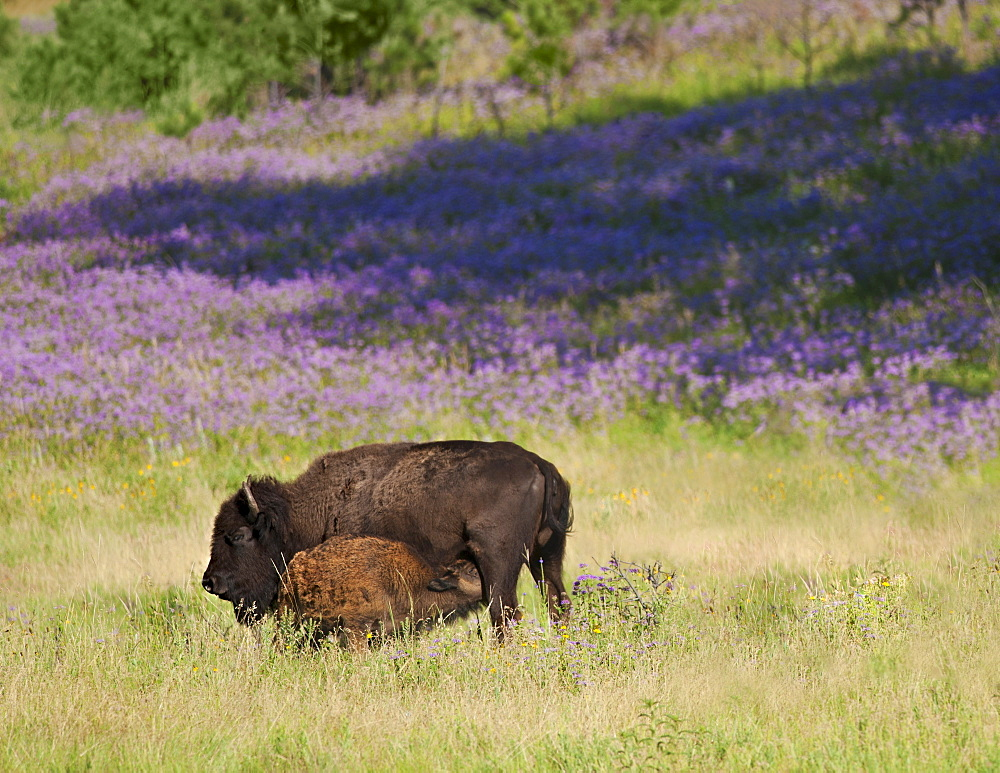 USA, South Dakota, American bison (Bison bison) with suckling calf in Custer State Park