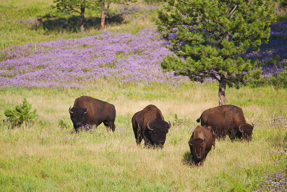 USA, South Dakota, American bison (Bison bison) herd grazing in Custer State Park
