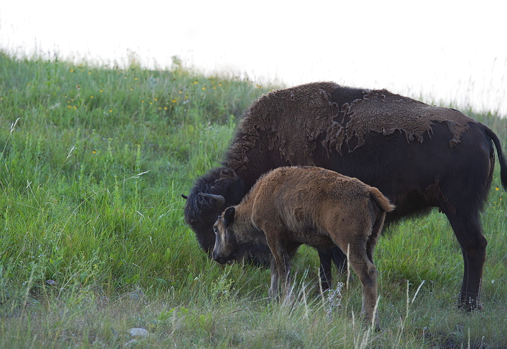 USA, South Dakota, American bison (Bison bison) with calf grazing in Custer State Park