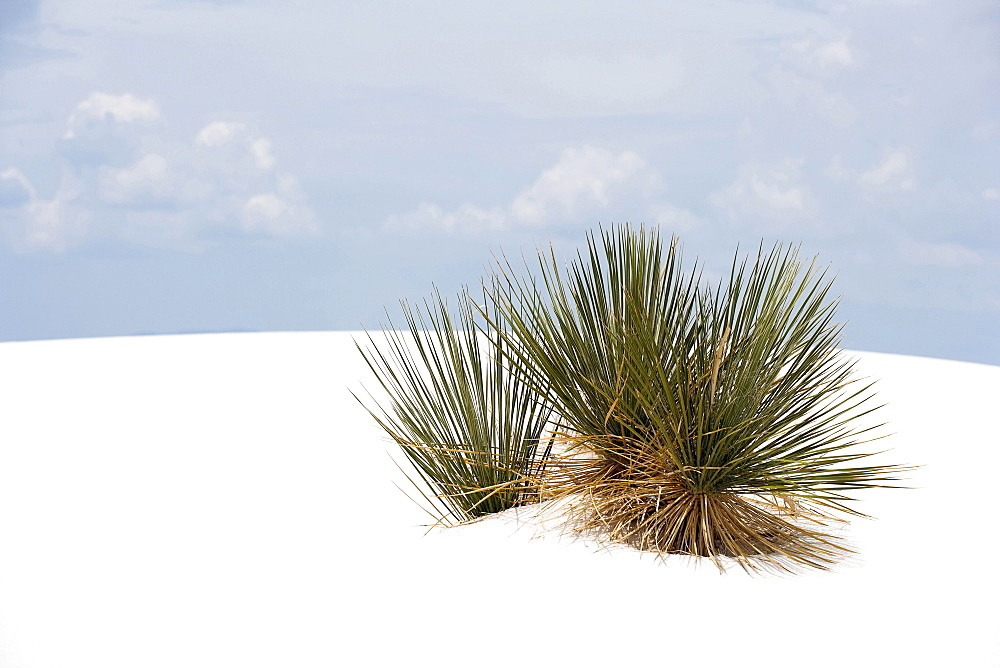 Landscape of sand dunes and plant, White Sands National Monument, New Mexico, USA