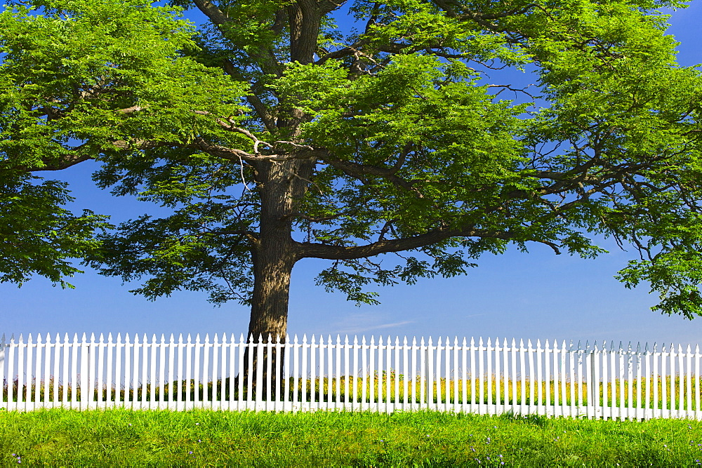 White picket fence in front of large tree