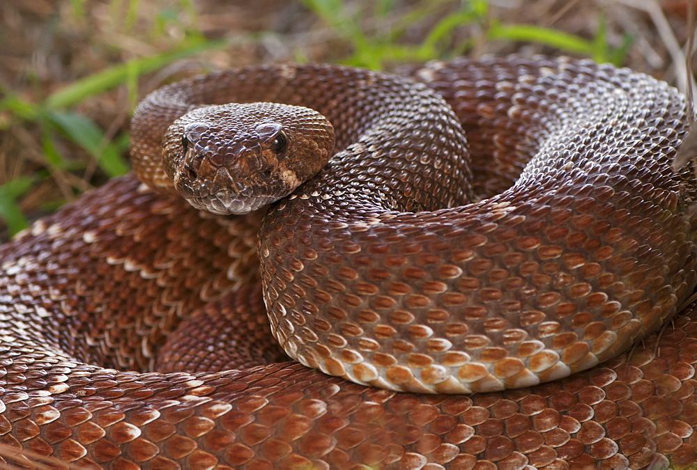 Rattlesnake coiled in grass