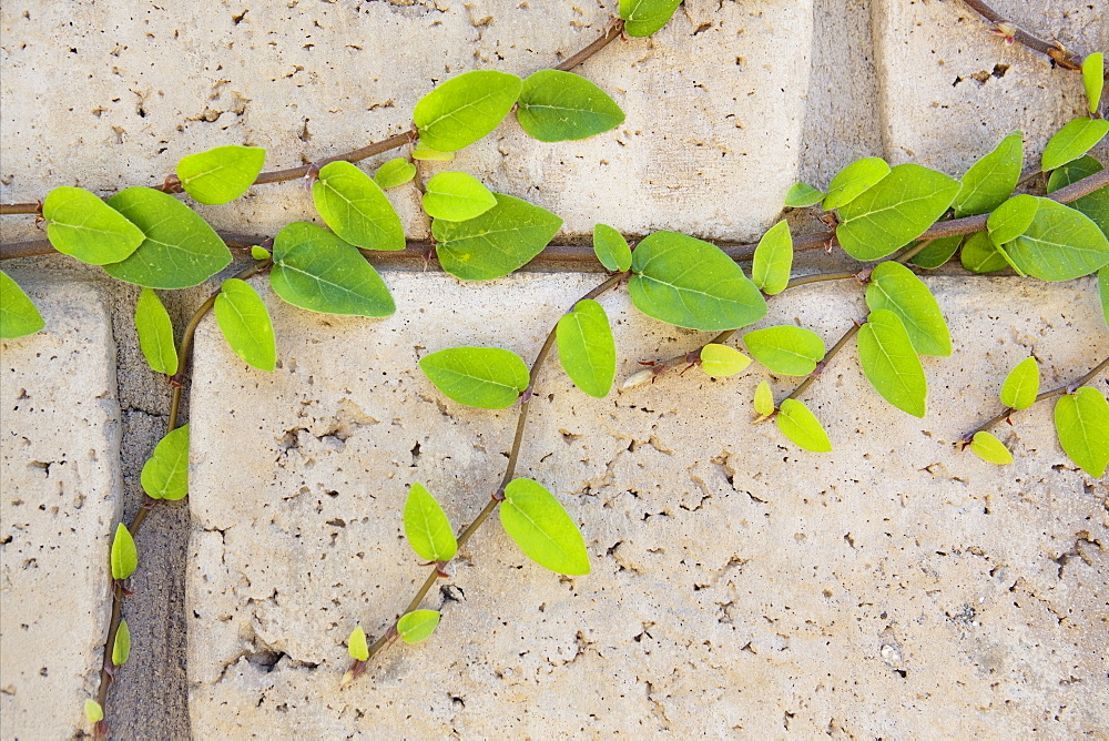 Thousand Oaks, close-up of vines of brick wall