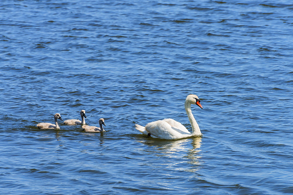 Female swan and chicks swimming in lake, USA, Connecticut