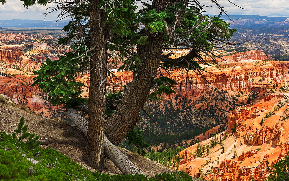 Trees at the edge of cliff, USA, Utah, Bryce Canyon