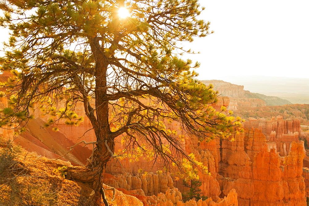 Bryce Amphitheater, Sun shining through tree, USA, Utah, Bryce Canyon