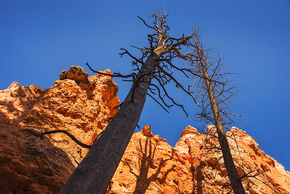 Navajo Loop Trail, Tall dead trees and rocks against clear sky, USA, Utah, Bryce Canyon