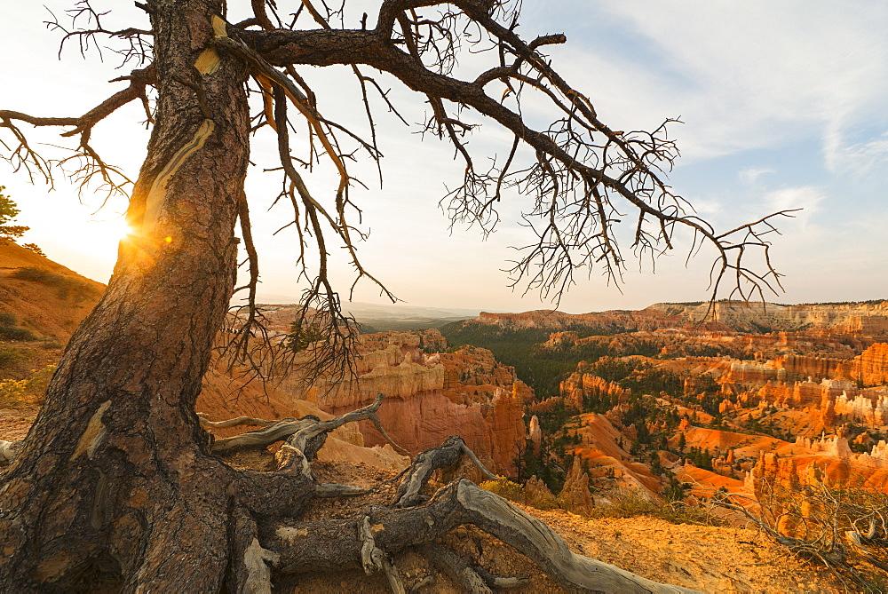 Bryce Amphitheater, Tree at the edge of canyon, USA, Utah, Bryce Canyon