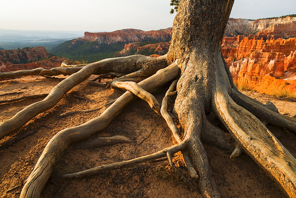 Roots of tree growing at the edge of cliff, USA, Utah, Bryce Canyon