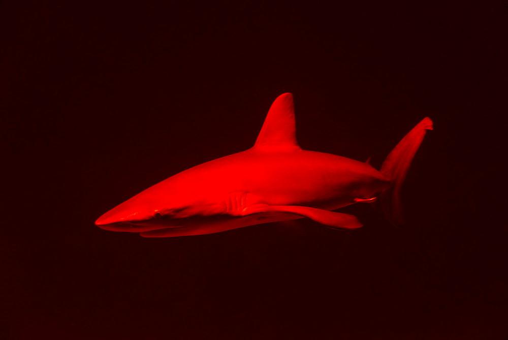 Red shark in dark water