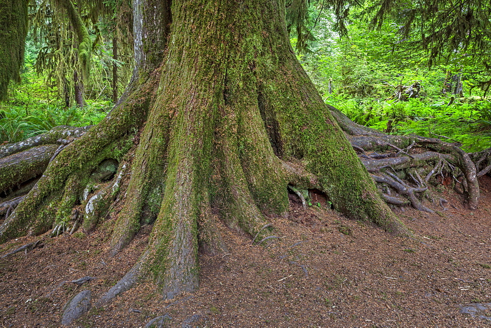 Close-up of tree trunk and roots, Olympic National Park, Washington