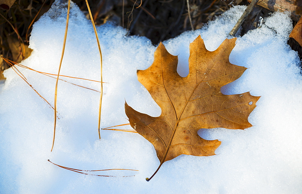 Leaf on snow, Walden Pond, Concord, Massachusetts - 1178-16258