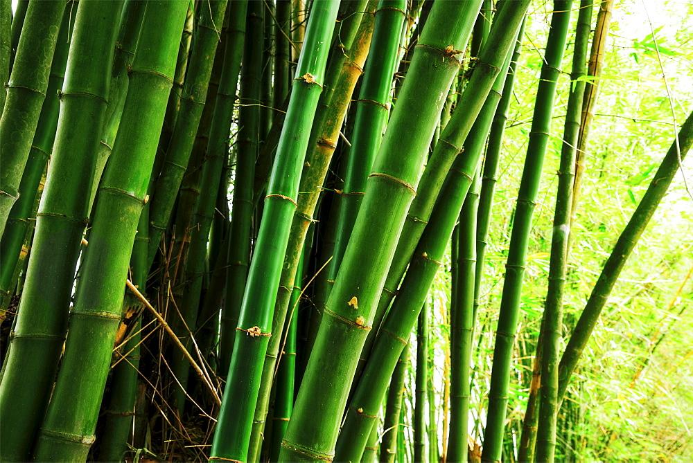 Bamboo grove, Jamaica