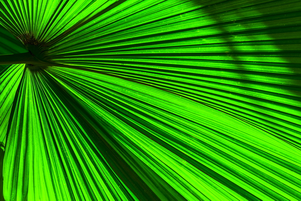 Close-up of palm leaf, Jamaica
