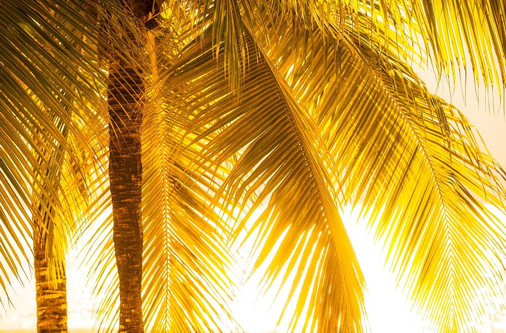 Palm tree at sunset, Jamaica