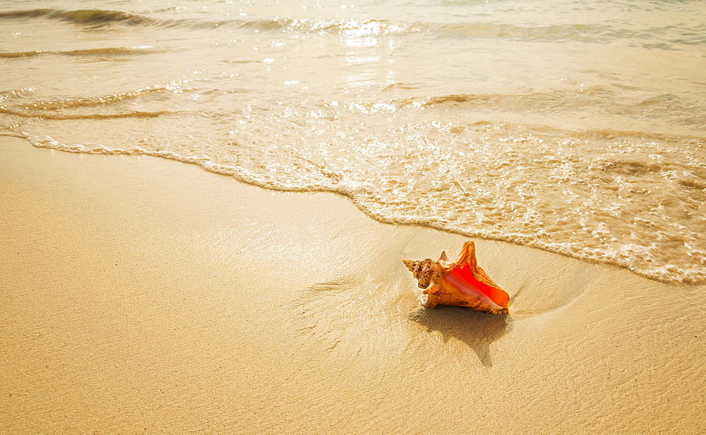Conch shell on beach, Jamaica