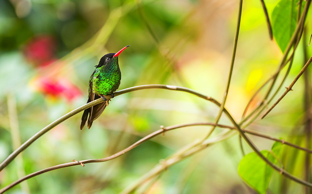 Hummingbird perching on twig, Jamaica