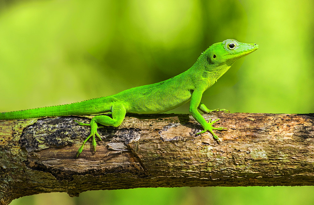 Green gecko on branch, Jamaica
