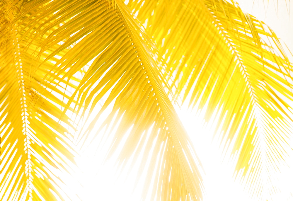 Silhouette of palm leaves, Jamaica