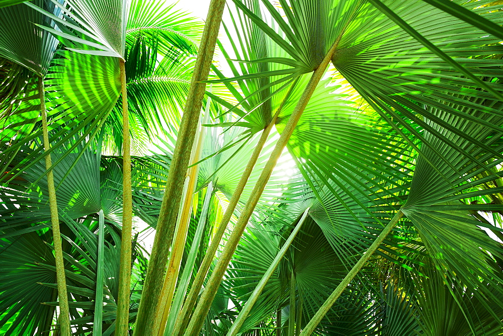 Palm leaves, Jamaica