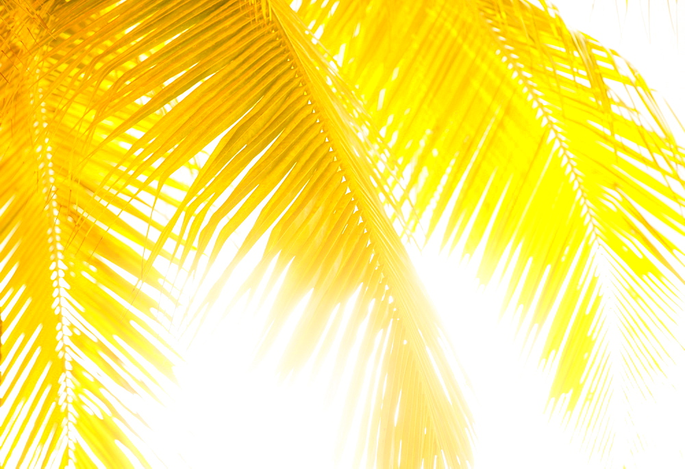 Golden palm leaves, Jamaica