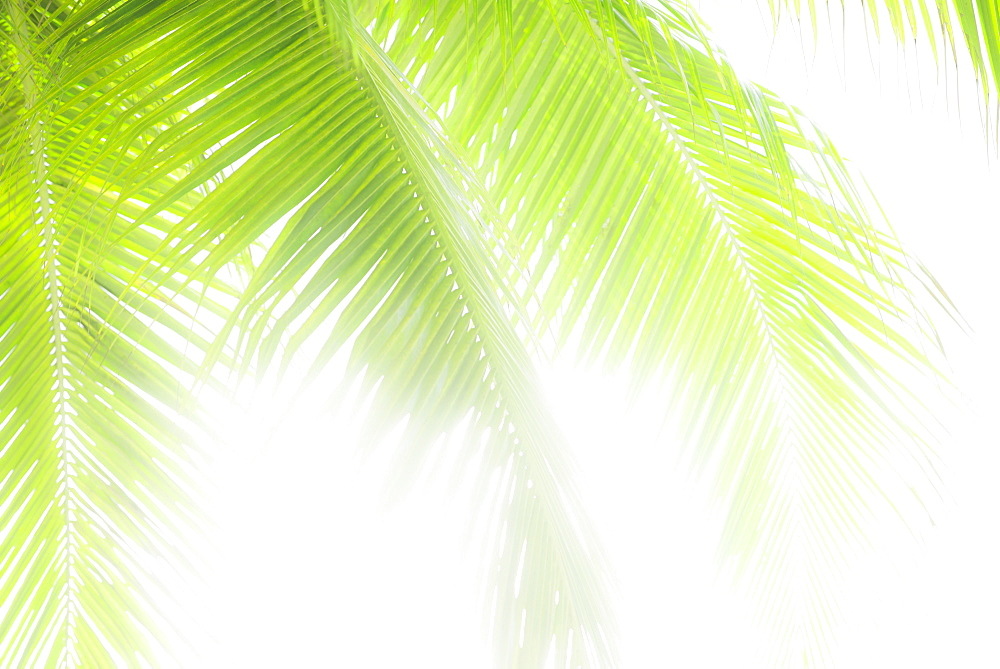 Sunlit palm leaves, Jamaica