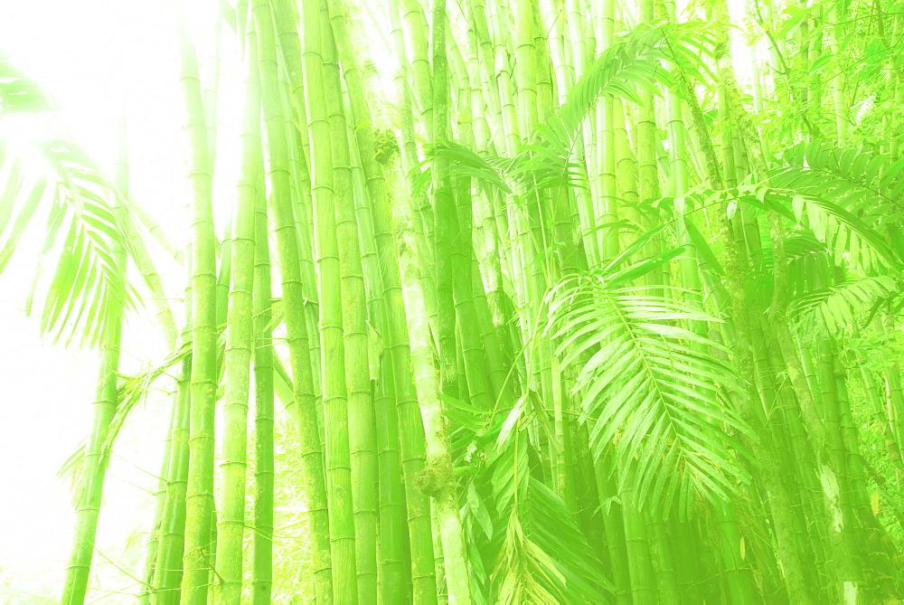 Sunlit bamboo grove, Jamaica